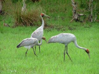 Brolgas - Airlie Beach Wildlife