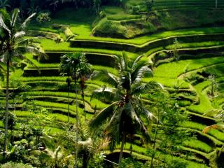 Rice Terrace in Ubud