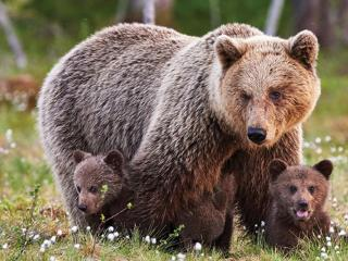 Canada Brown Bears