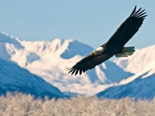 Cruise_Bald Eagle Alaska
