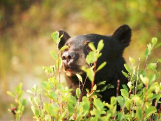 Rocky Mountaineer Brown bear