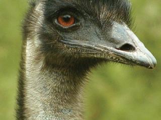 Murray Princess - Emu