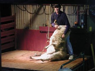 Murray Princess - Shearing Demo