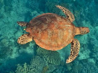 Sudbury Reef Green Turtle