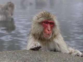 Jigokudani Wild Monkey Hotsprings