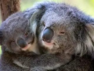 Koala Healesville Park
