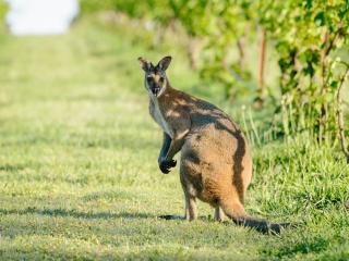 Hunter Valley Kangaroo