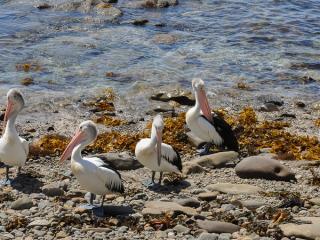 Gerringong Pelicans