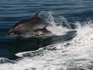 Dolphin & Calf
