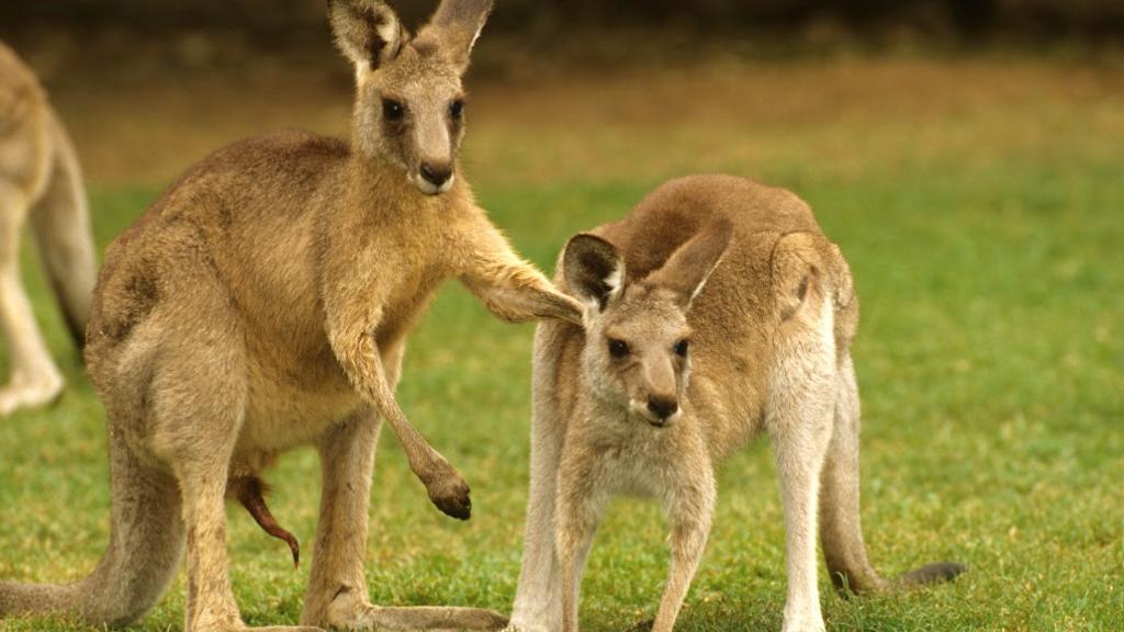 Blog - Generic - Vroom Kangaroo