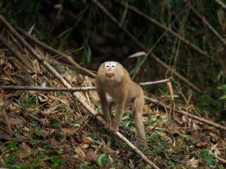 Wildlife - Pigtail Macaques 1