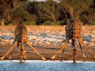 Giraffe Kruger