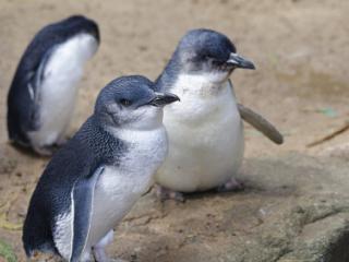 Victoria Region - Phillip Island, Fairy Penguins