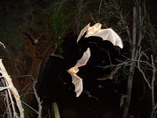Wildlife at Sunset - Bats emerging
