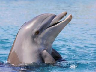 Dolphin at Monkey Mia